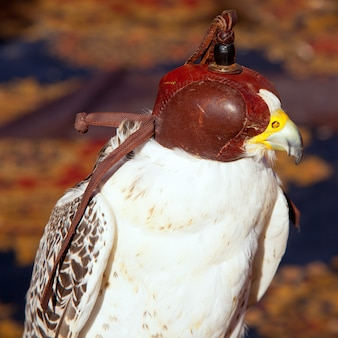Bird falcon with falconry blind hood