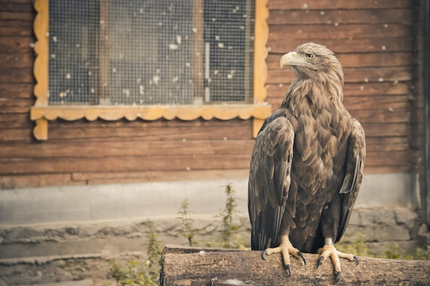 Птица беркут в зоопарке