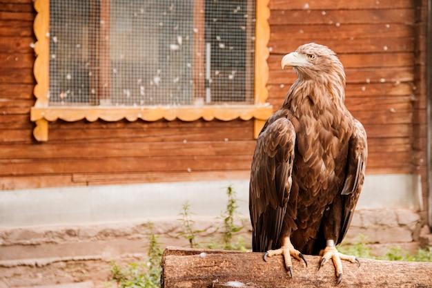 Bird golden eagle in the zoo. a bird in captivity. zoo animals.