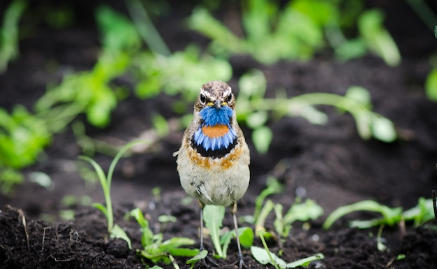 The bird is the bluethroat sits on the ground and looking right
