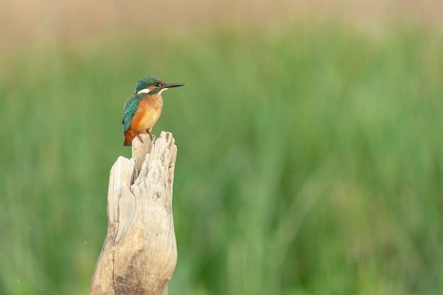 生息地の棒に座っている鳥のカワセミalcedoatthis。