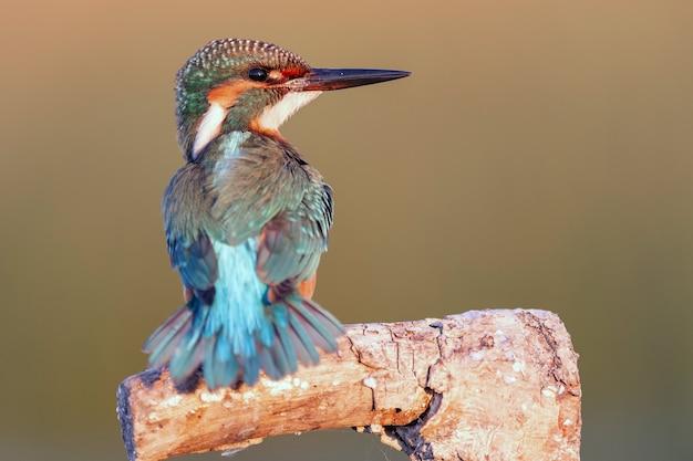 Голова зимородка птицы крупным планом. альседо аттис.