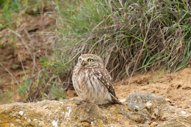 The bird little owl athena noctua sits on a rock.
