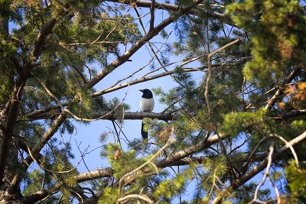 새 까치는 숲에서 오래 된 가문비 나무의 가지에 앉아