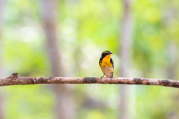 Bird (narcissus flycatcher, ficedula narcissina) male black, orange, orange-yellow color