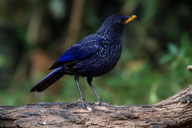 Bird in the nature, blue whistling thrush