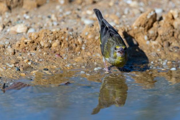 Птица у пруда пьет воду. зеленушка chloris chloris.