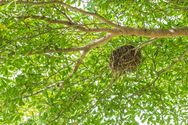 Bird nest on gourd tree, mexican calabash, among bright sunlight.