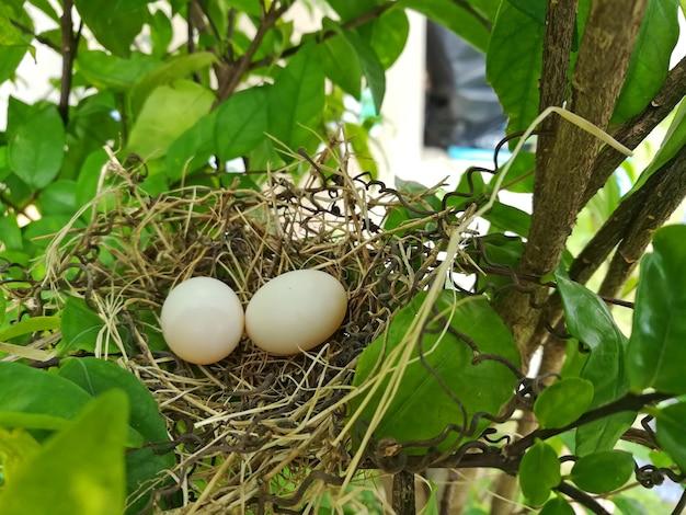 鳥の巣の白い鳩の鳩の卵は、巣の上に横たわる