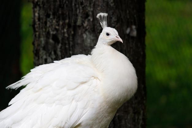 품종 공작 흰색 색상의 새를 닫습니다. 고품질 사진