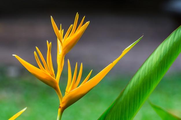 鳥の楽園の花、緑の葉を持つヘリコニアの花