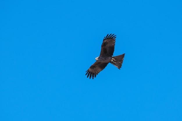 Хищная птица парит на фоне голубого неба