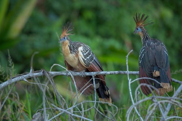 自然の生息地で南アメリカの鳥