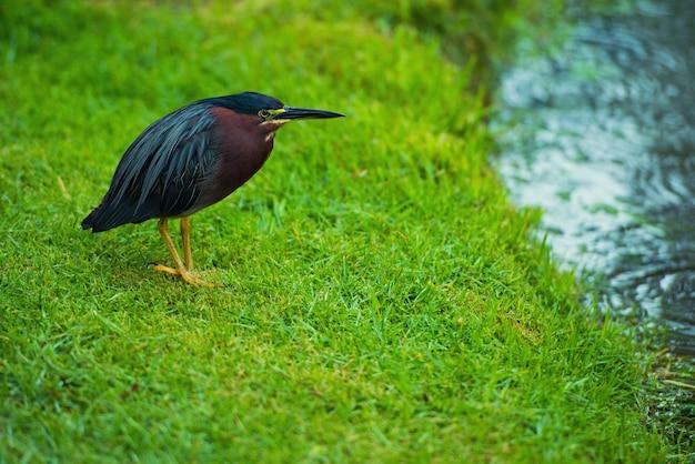 Птица на зеленом лугу у реки в доминиканской республике, butorides virescens.