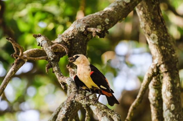 Птица на дереве. иволга. тарангире, танзания