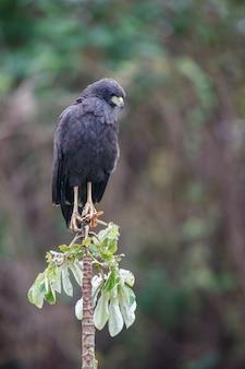 Bird of pantanal in the nature habitat