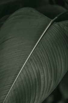 Bird of paradise or crane flower leaves in black and white effect macro photography