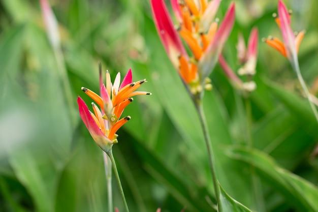 Bird of paradise flower blossom in botanic garden with green leaves background