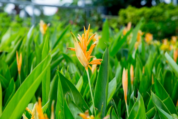 The bird of paradise flower, focus selective