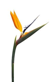 Bird of paradise flower isolated on white