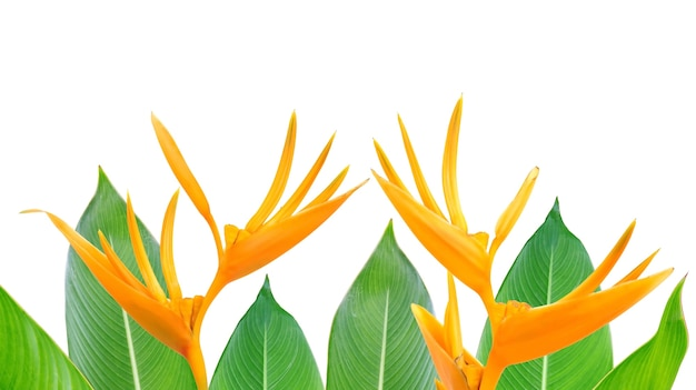 Bird of paradise flowers and leaves on a white background