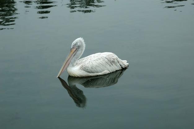 Bird the pelican on water.