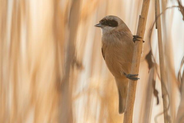 Птица penduline tit remiz pendulinus самец. закройте вверх.
