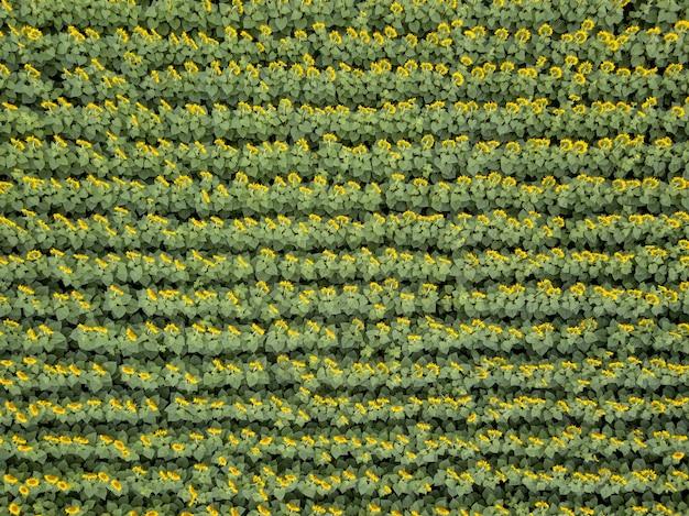 Вид с высоты птичьего полета с дрона на сельскохозяйственное поле цветущих подсолнухов летом. вид сверху. текстура растений фона