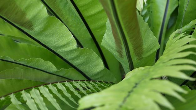 새 둥지 양치류 짙은 녹색 잎. 이국적인 열대 아마존 정글 열대 우림, 세련된 트렌디한 식물 분위기. 자연의 무성한 단풍 생생한 녹지, 낙원의 미학. asplenium nidus 식물 잎