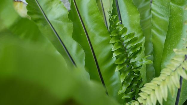 새 둥지 고사리 녹색 잎입니다. 이국적인 열대 아마존 정글 열대우림 녹지. asplenium nidus