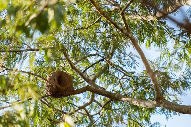 Птичье гнездо из глины на ветке дерева.