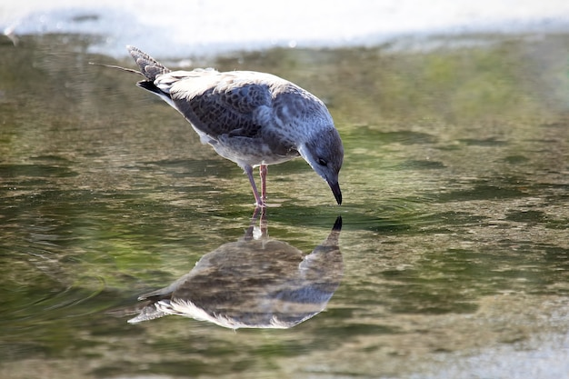 Bird seagull looks at himself in a puddle of water