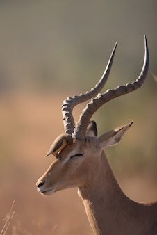 Bird sitting on the head of a gazelle
