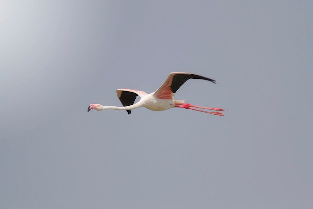 Птица, одиноко стоящая в озере, большой фламинго (phoenicopterus ruber)