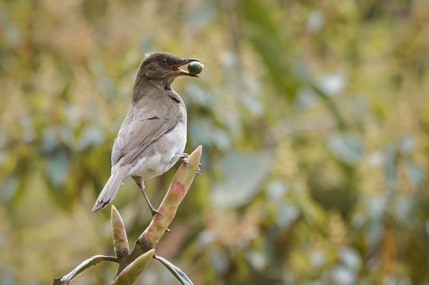 Птица стоит на ветке, питаясь дикими фруктами 0
