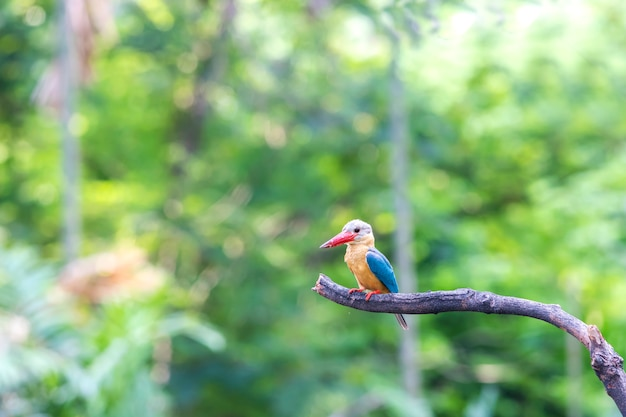 Bird, stork-billed kingfisher, on the branch in the forest
