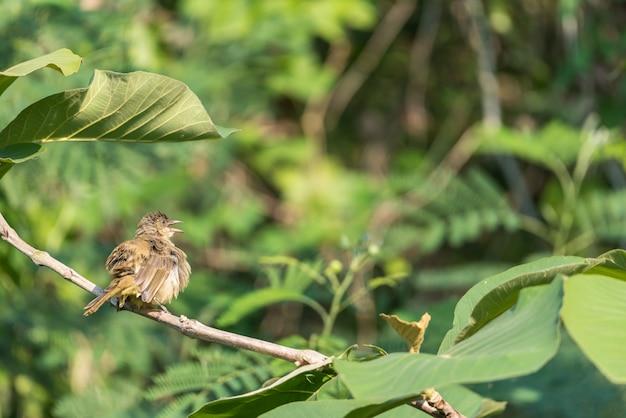 Bird (streak-eared bulbul) on tree in nature wild