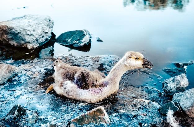 鳥はタールで汚染された水に閉じ込められました。産業廃棄物で死にかけている動物。油で汚れた川や海。危険にさらされている小さなガチョウ。環境問題。有害な人間。生態学的災害。