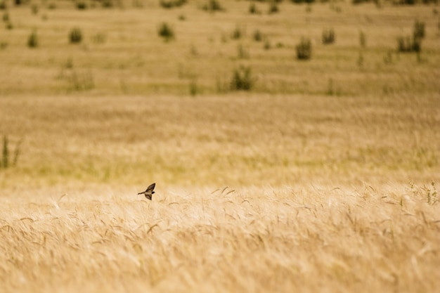 Bird swift a swallow over a field with wheat