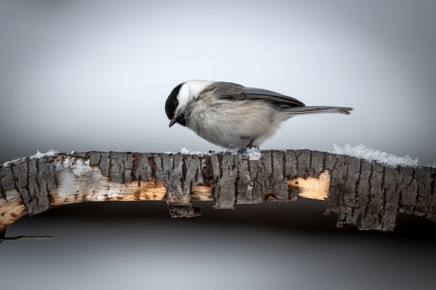 Bird tit in forest, snowflakes and nice lichen branch near baikal lake.