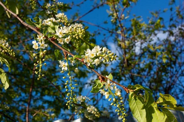 Цветение черемухи весной ветка с цветами черемухи на фоне голубого неба