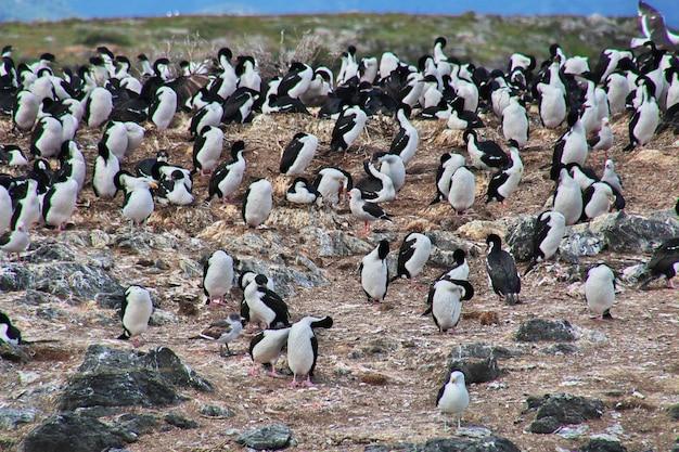 아르헨티나 티에라 델 푸 에고의 비글 채널에있는 섬의 새와 펭귄