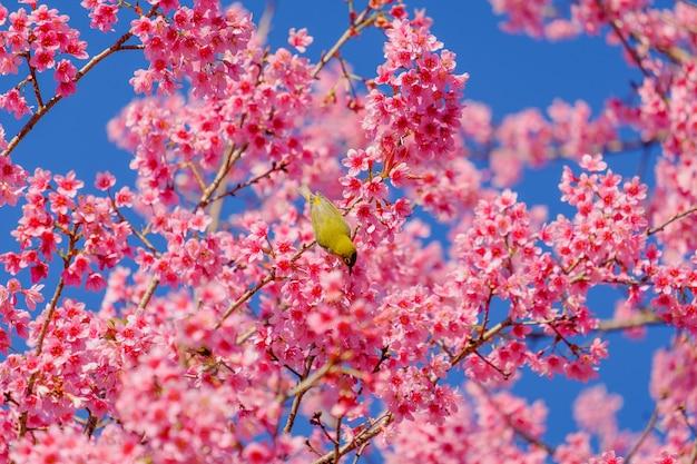 鳥は桜の木から蜜を食べています
