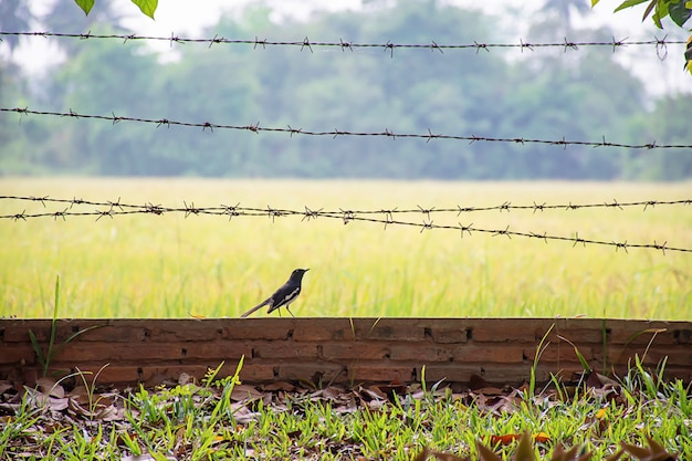 Birds on the brick wall with barbed wire background blurry rice paddy field.