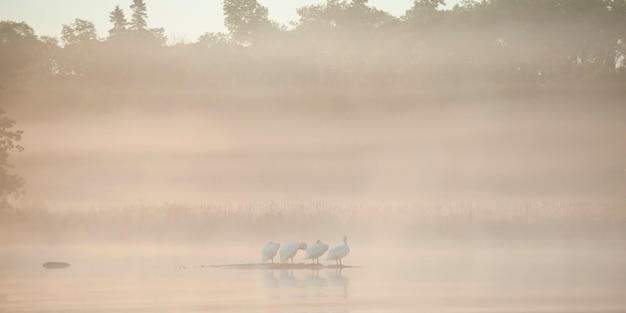 Birds in a fog covered lake, lake of the woods, ontario, canada