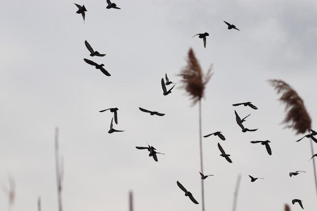 Птицы в сером небе за камышами