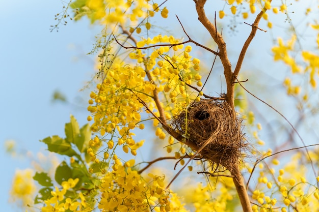 Birds nest on the bright yellow golden shower of thailand