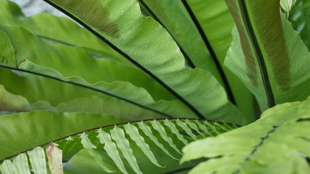 새 둥지 고사리 녹색 잎, 이국적인 열대 아마존 정글 열대 우림, 식물 자연 무성한 단풍, 생생한 녹지, asplenium nidus 식물 잎