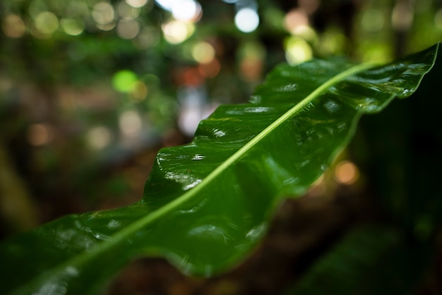 Birds nest fern leaf wet by rain with shallow depth of field and a beautiful bokeh on background
