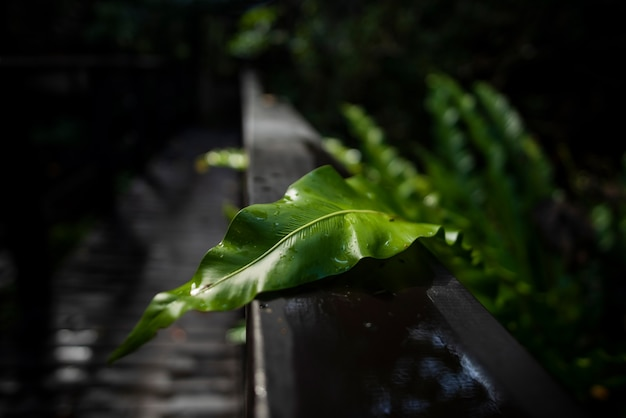 Birds nest fern leaf wet by rain under a wooden handrail illuminated by a beautiful soft light